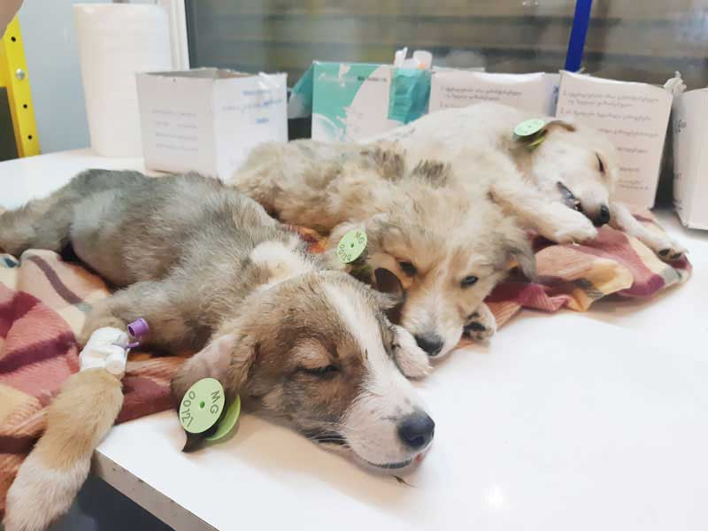 puppies with ear tag