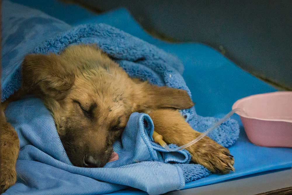 puppy recovering from operation